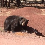 Bear in Arizona