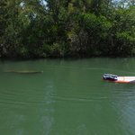 Manatee following us during our tour