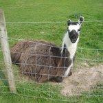 One visible Llama