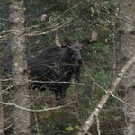 Bull Moose on the trail of a Cow