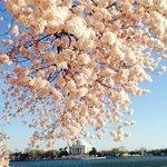 Cerejeira em flor com o monumento ao fundo