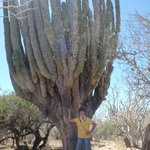 A cactus hundreds of years old