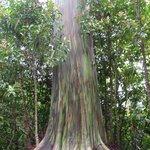 Painted Ecalyptus Tree