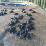 Piscinas com tartarugas-marinhas