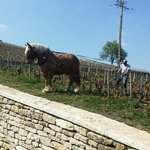 Horse ploughing the Romanee-Conti  Vineyard
