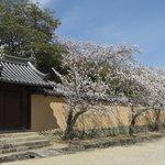 法隆寺の桜路