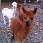 The farm alpacas