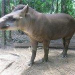 Herbie the herbivore (aka tapir)