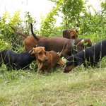 5 of the Dachshunds