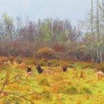 Elks at Rest