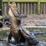 Daily Alligator feeding