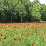 Poppies by the entrance to Boone Hall