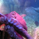 Giant Octopus wakes up and swims