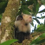White faced monkey and her baby