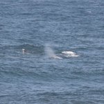 Grey Whales from our room