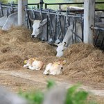 Allevamento bovini dell'Agriturismo
