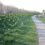 Daffodils in bloom in April