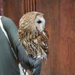 Beautiful tawny owl