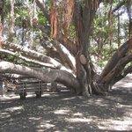 Under the Banyab Tree