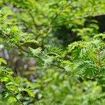 Endangered Dawn Redwood Tree