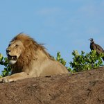 lion and vulture