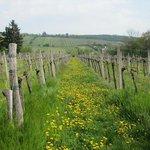 The vineyards behind the backgarden