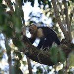 Capucine Monkeys