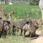 Ostrich chicks feeding #Safari Ostrich Farm