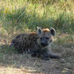 Mother hyena guarding her cubs