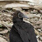 Vulture taking a break