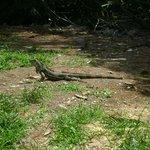 Iguana vicino alla sala colazioni