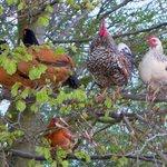 les poules perchées sur l'arbre