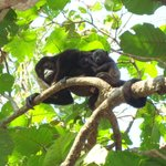 Howler monkey with baby!
