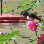 Hummingbirds can be seen from early Apr. to July