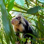 Capuchin with baby