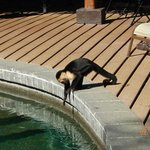 Capuchin at the lower pool