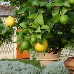 Fresh Lemons at the garden