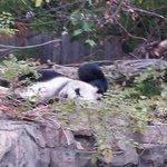 oh my gosh panda!