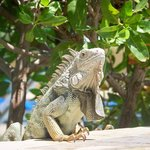 Friendly Iguanas
