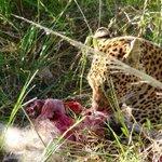 Leopard eating baboon.