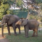 Elephants at marula