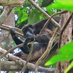 Howler monkey...loves being the star!