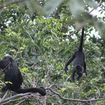 Our early morning wake up call from the howler monkeys