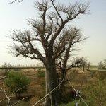 le baobab emblême du Sénégal