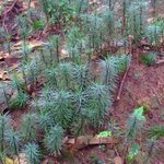 World's tallest moss - Whanganui National Park