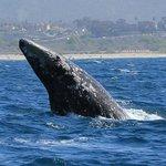 Gray whale breaching near the Laguna Cliffs Marriott Resort