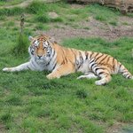 One of the Foundation's Big Cats