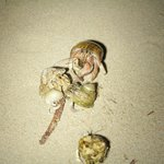 A hermit crabs picnic