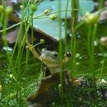 ㄚ婆家的莫氏樹蛙