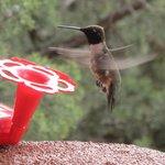Hummingbird Show Cont...